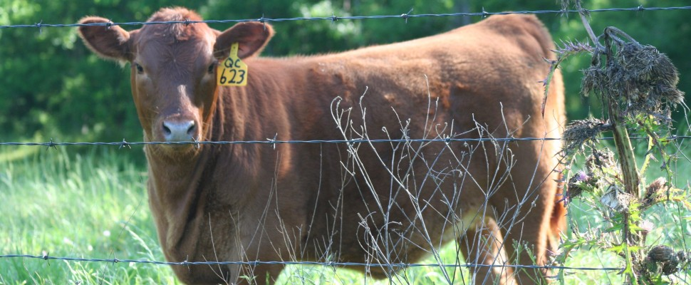 Registered Red Angus & Commercial Cattle Ranch
