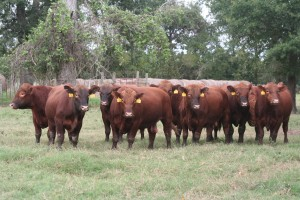 Texas Red Angus Breeding Bulls For Sale
