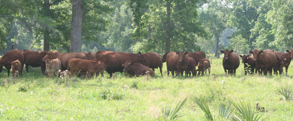 Red Angus Breeder - Ranch Vision