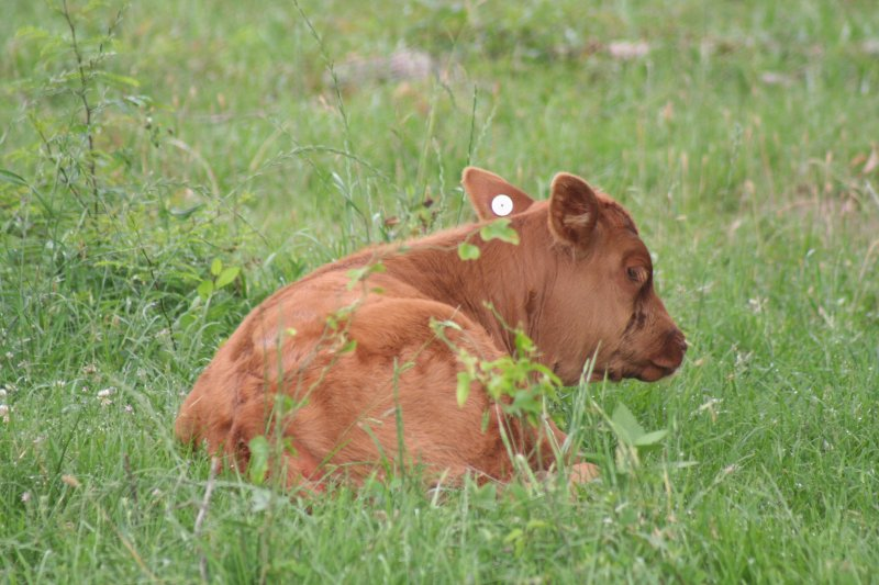 Commercial Cattle Photo Gallery